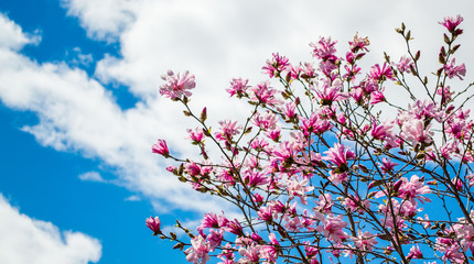 Pink forsythia bush under blue sky with clouds