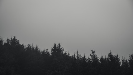 Wall Mural - Black and white forest in fog.