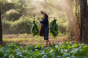 Portrait of beautiful rural woman wear Thai dress,are harvesting in tobacco plantations.