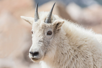 Curious Mountain Goat - A yearling mountain goat stares with curiosity.