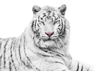 Wall Mural - Mighty white tiger