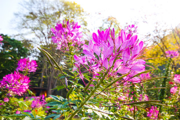 Close up of beautiful Cleome flower or spider flowers.