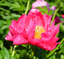 The peony is a flowering plant in the genus Paeonia, the only genus in the family Paeoniaceae. They are native to Asia, Southern Europe and Western North America