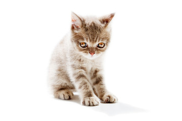 British Shorthair kitten Isolated on white background.