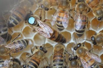 Reine d'abeille sur cire