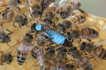 Reine d'abeille sur un cadre