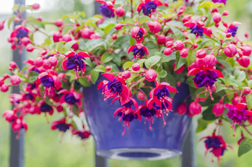 closeup of Fuchsia, hanging flower in purple pot.