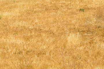 Golden grass background