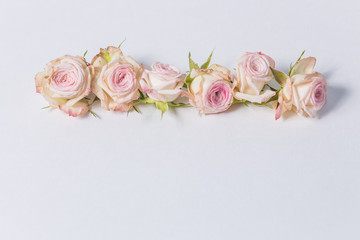 beautiful spray roses, pink flowers, arranged in a row on white background, close-up