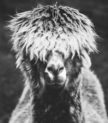 Fotorolgordijn Lama A portrait of a hairy alpaca in black and white