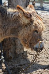 The Poitou donkey or Poitou ass (French: Baudet du Poitou), also called the Poitevin donkey, is a breed of donkey originating in the Poitou region of France.