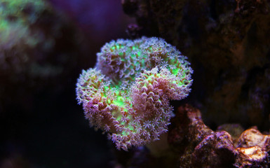 Leather soft coral