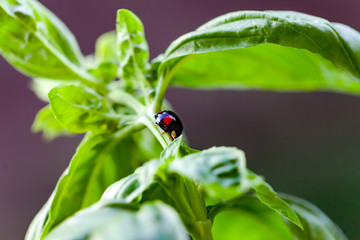 Black ladybug on basil