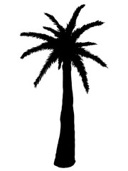 Silhouette of palm tree on a white background. Vector illustration.
