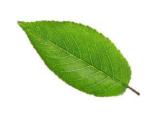 cherry tree leaf isolated on a white