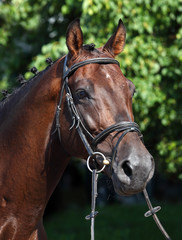 Thoroughbred race horse portrait in paddock