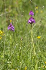 Orchideen in den Alpen und auf der Alb