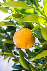 orange tree, fresh fruit in the farm