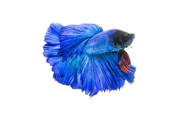 red blue fighting fish isolated on white background. Betta fish
