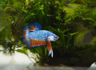 Betta fish from Thailand