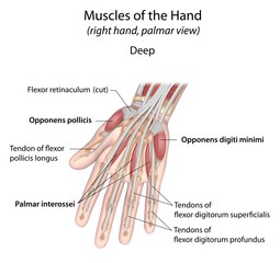 Hand muscles palm deep labeled