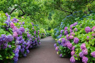 Photo sur Plexiglas Hortensia 府中郷土の森 紫陽花の小径