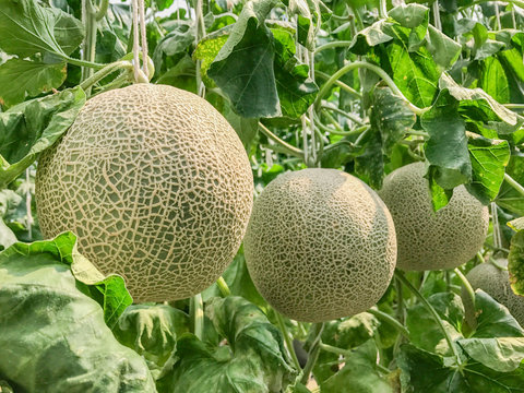 Cantaloupe melons in greenhouse