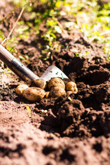 New yellow potato root harvest in hands in protective gloves, selective focus