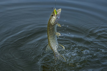 Pike fish jumping in water with splash. Fishing background