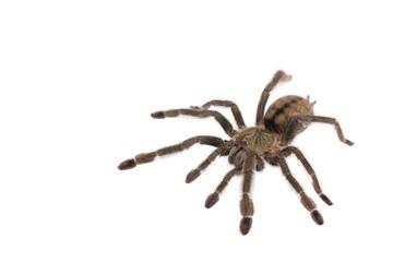 Spider Cyclosternum Davus Fasciatum