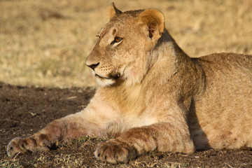 Young lion resting after a meal