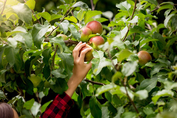 Closeup image of female hand picking apples from trees at sunny day