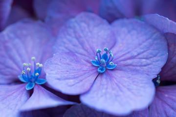 紫色の紫陽花のクローズアップ