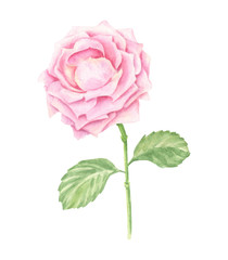 Hand-drawn watercolor pink rose blossom, floral botanical illustration isolated on white background.
