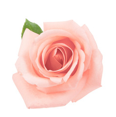 on top pink rose