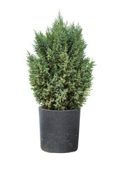 Cypress in pot on a white background