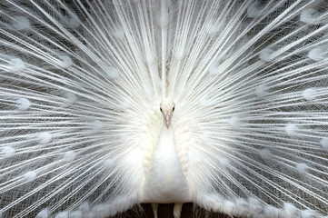 Fotobehang Pauw White peacock close-up
