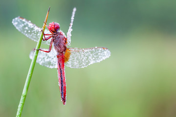 an Fire dragonfly