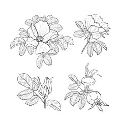 Dog-rose drawing flowers, Hand-drawn Wild Rose isolated. Botanical drawings, Coloring page, Flowers on white background, Vector Briar Rose illustration