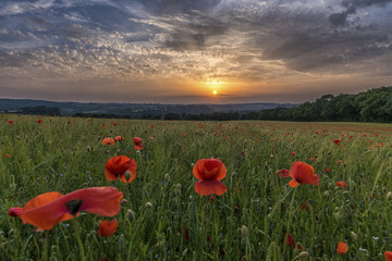 Bright red poppies, in a field of green wheat, at sunset