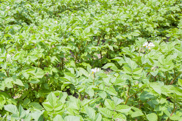 Potatoes plants.