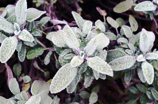 Close up of beautiful frosted sage plant (Salvia) in early spring with violet blurry background