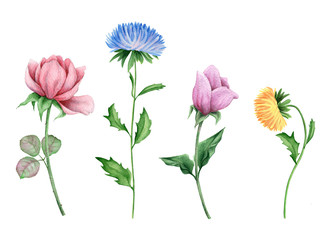 Asters and Peonies. Watercolor flowers on white background
