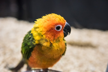 Sun fancy conure colorful parrot eating talking
