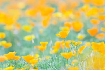 ハナビシソウの花畑