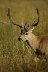 Black-tailed deer or california Mule Deer (Odocoileus hemionus), Male grazing in a meadow.