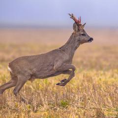 Roe deer jumping