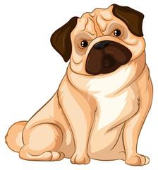 Little pug dog on white background
