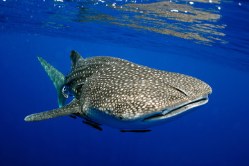 Giant sea whale shark..