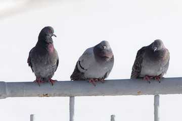 pigeons sit on the fence